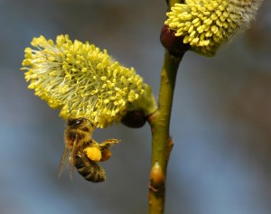Apis Mellifera Salix