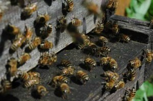 Buckfast bijen op toegang gat