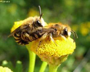 Tweetal solitaire bijen op een bloem