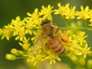 Bij met pollen aan poten